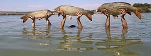 3 carp caught on the river Ebro