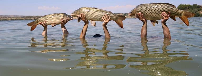 3 carp caught on the river Ebro